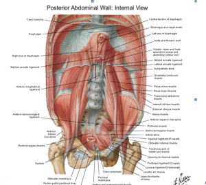 Pared abdominal posterior