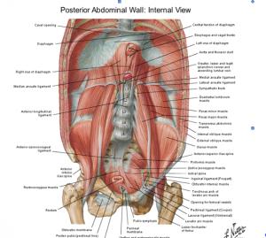 Pared abdominal posterior