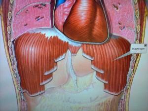 El-diafragma-cumple-una-funcion-principal-dar-soporte-a-la-respiracion