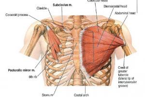 Un esternón fijado, provocará que el pectoral anteriorice y rote internamente los hombros; conllevando a una actitud de cierre
